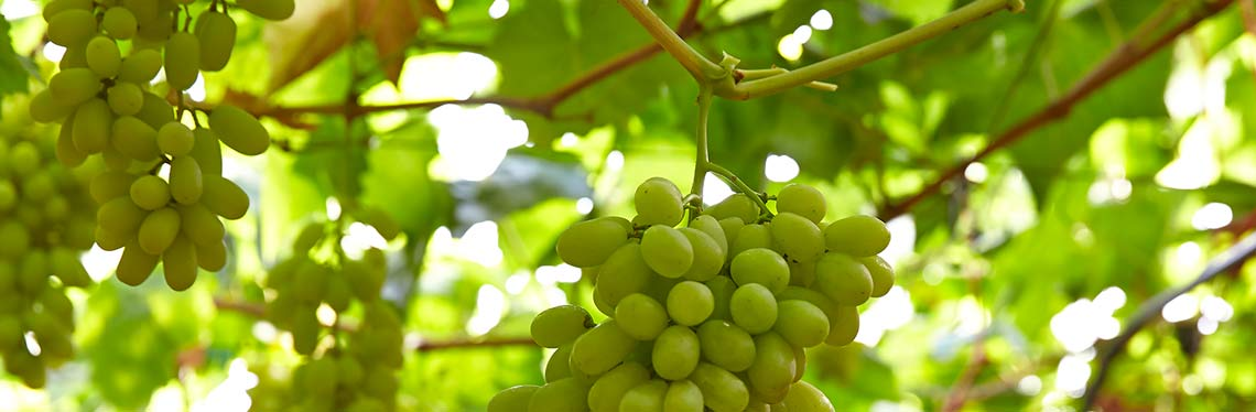Seedless Grapes Circuit